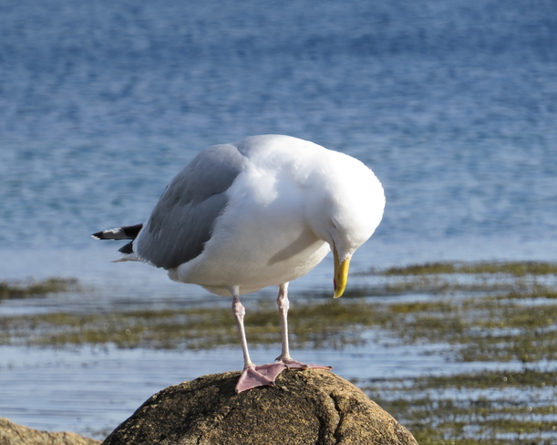 Herring Gull Reflections