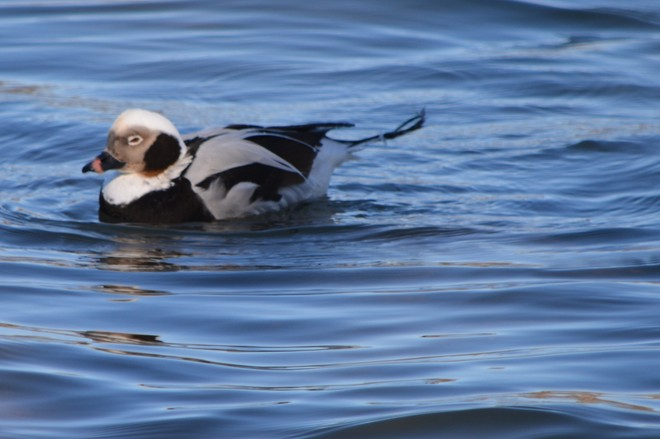Female Long Tailed duck! St. Catharines, Ontario Canada