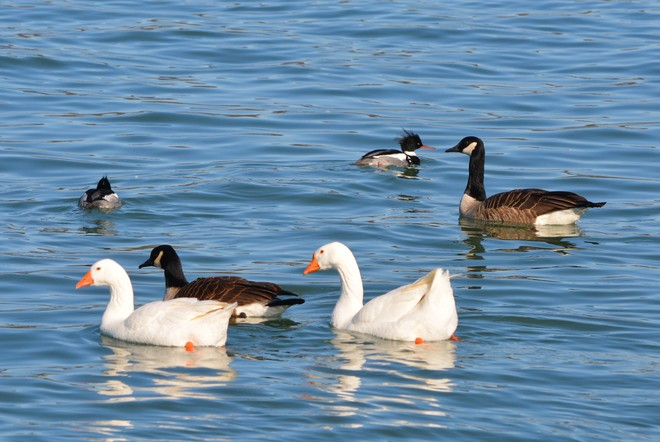White Geese, Canada Geese and RBM! St. Catharines, Ontario Canada