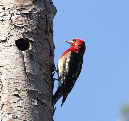Red-breasted Sapsucker West Vancouver, British Columbia Canada