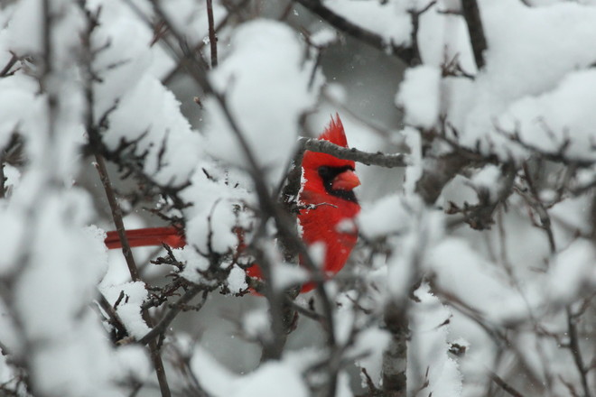 Cardinal In the snow Greater Napanee, Ontario Canada