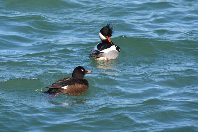 Male White Winged Scoter and male RBM! St. Catharines, Ontario Canada