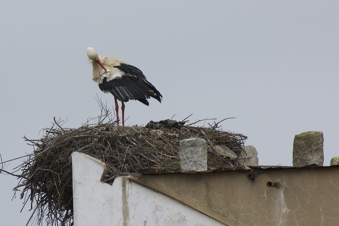 Magnificent White Storks Simcoe, Ontario Canada
