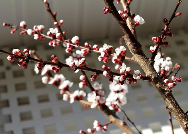 Apricot blossoms March 17/14 Nanaimo, British Columbia Canada