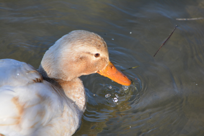 Close up Blonde Mallard! St. Catharines, Ontario Canada