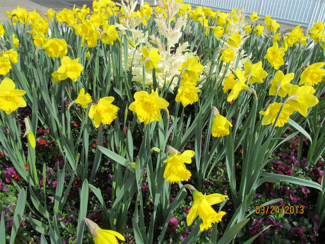 Spring flowers New Westminster, British Columbia Canada