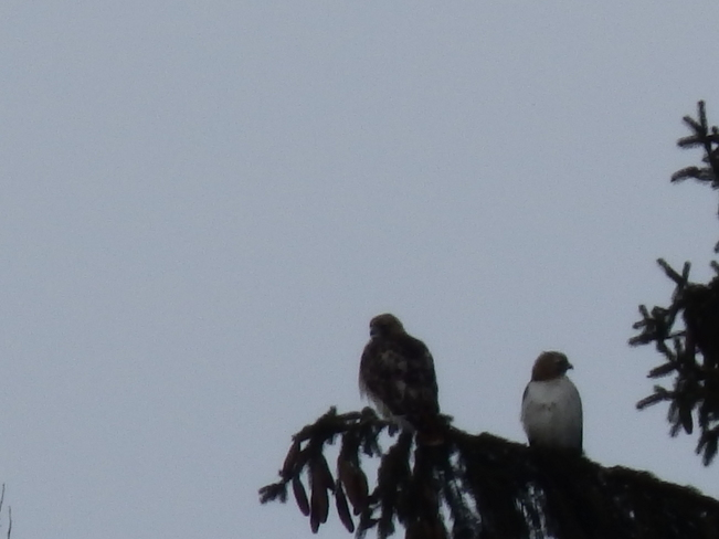 Two Red Tail Hawks Newington, Ontario Canada