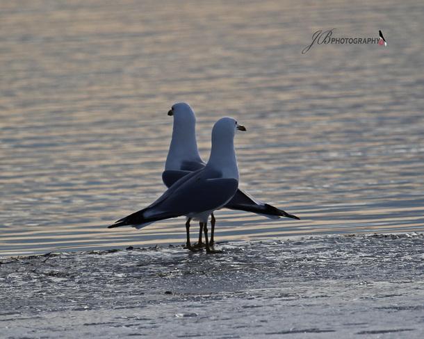 Ring-billed Gulls Port Colborne, Ontario Canada