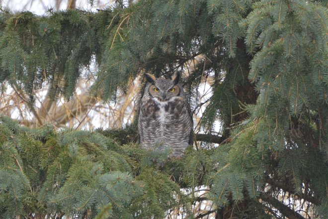 Owl in Westmount London, Ontario Canada