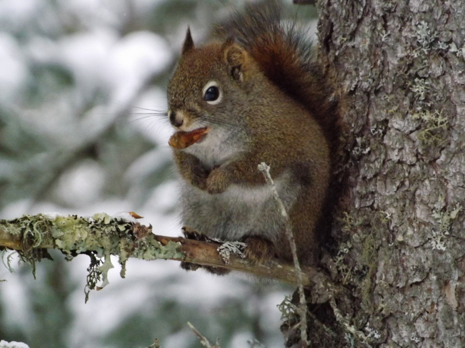 RED SQUIRREL NIBBLING ON A CONE Thunder Bay, Ontario Canada