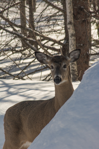 Whitetail Deer Fredericton, New Brunswick Canada