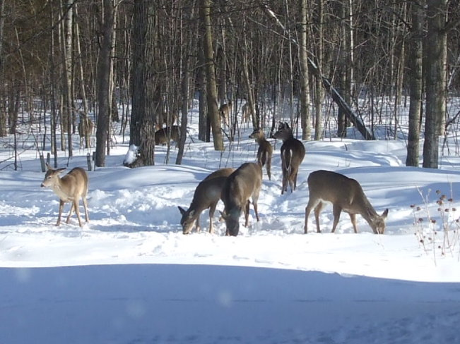 deer in our backyard Apple Hill, Ontario Canada