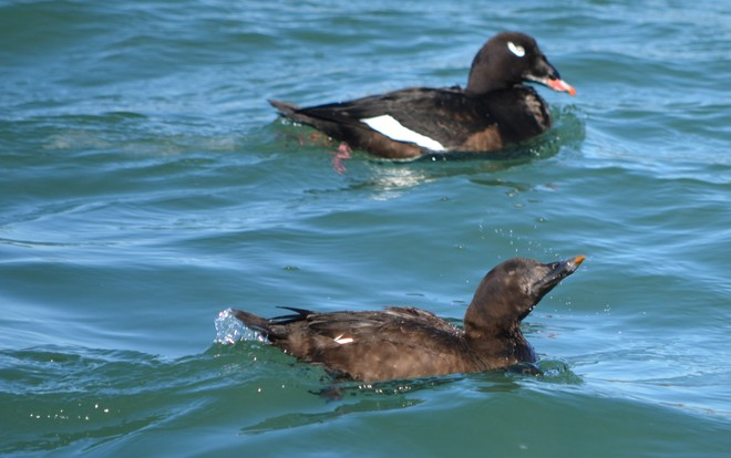 White Winged Scoter Couple! St. Catharines, Ontario Canada
