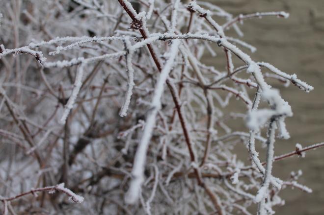 Frosted twigs Winnipeg, Manitoba Canada