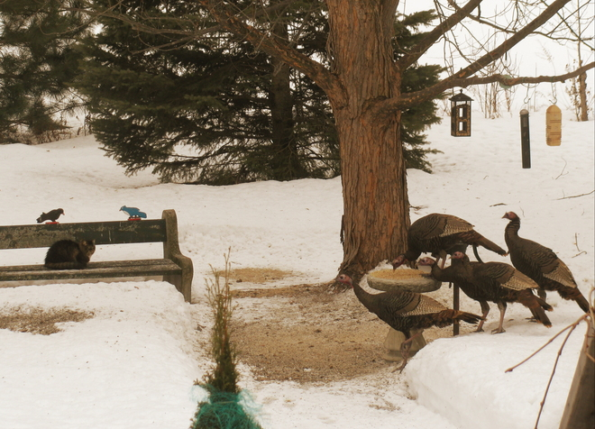 Tilly with the turkeys Pembroke, Ontario Canada