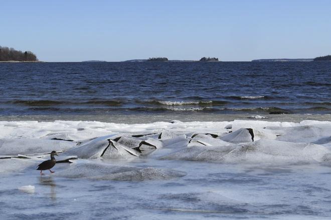Lone American Black Duck Braves The Ice Chester, Nova Scotia Canada