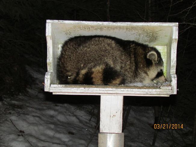 Raccoon sleeping in Bird Feeder Coldbrook, Nova Scotia Canada