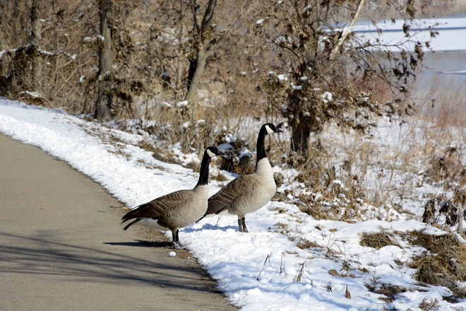 Geese on the path. Medicine Hat, Alberta Canada