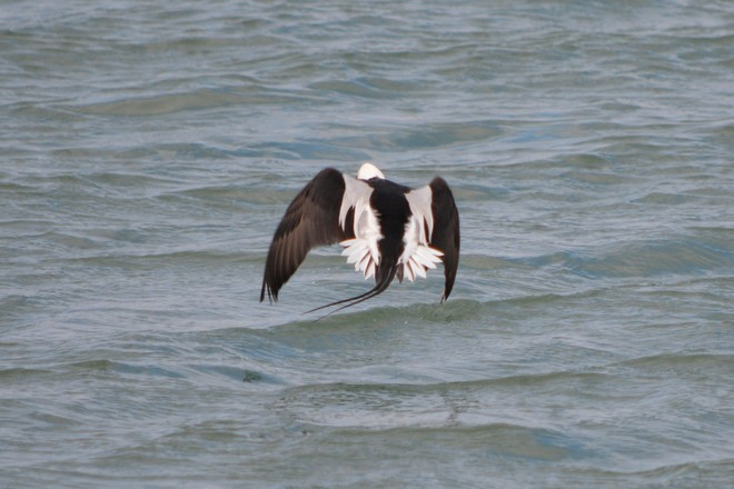 Flying Male Long Tailed Duck! St. Catharines, Ontario Canada