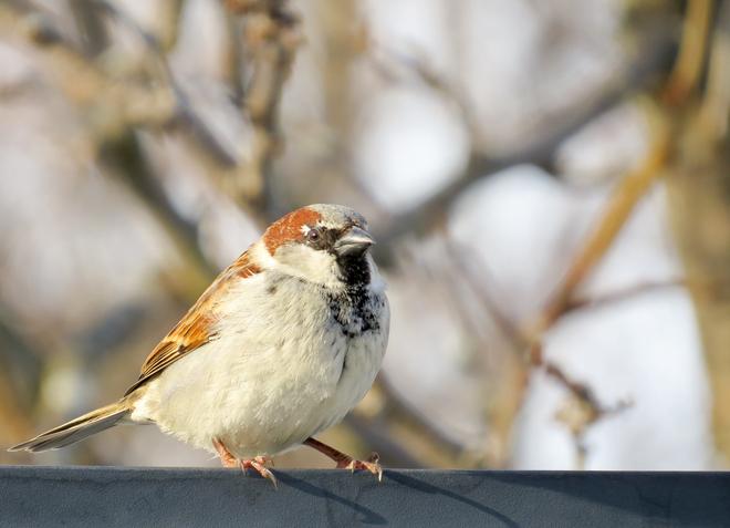 sparrow in the sun London, Ontario Canada