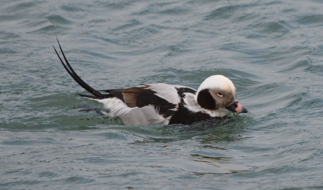 Male Long Tailed Duck! St. Catharines, Ontario Canada