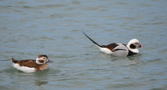 Couple Long Tailed Ducks! St. Catharines, Ontario Canada