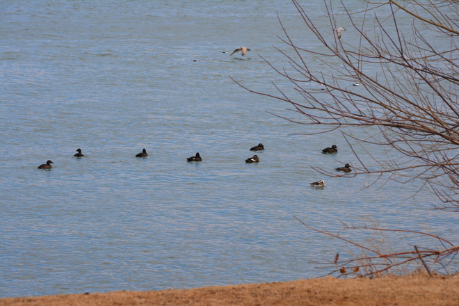 Scoters Galore Scenery! St. Catharines, Ontario Canada
