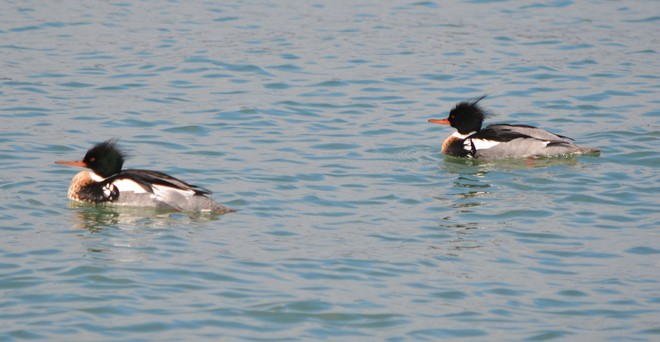 Male Red Breasted Mergansers! St. Catharines, Ontario Canada
