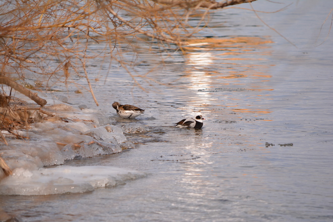 Long Tailed Ducks Couple Scenery! St. Catharines, Ontario Canada