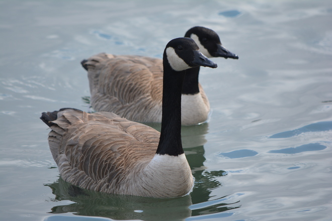 Canada Geese! St. Catharines, Ontario Canada