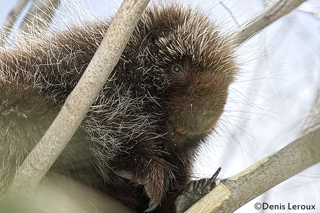 Porcupine Maberly, Ontario Canada