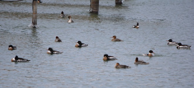Mergansers Club! St. Catharines, Ontario Canada