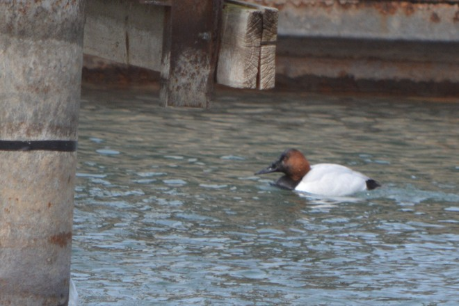 Canvasback! St. Catharines, Ontario Canada