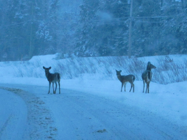 3 deer on road Temperance Vale, New Brunswick Canada