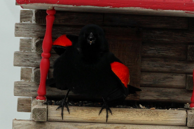 """ Look at Me"" Red wing Blackbird Greater Napanee, Ontario Canada"