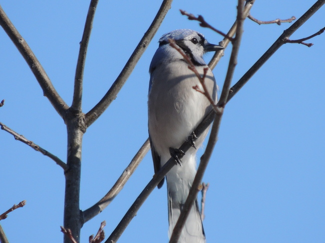Beautiful Blue Jay in a tree Newmarket, Ontario Canada