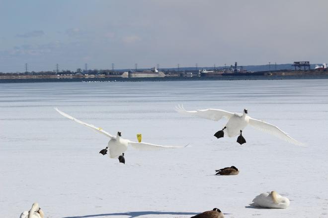 Swans Burlington, Ontario Canada