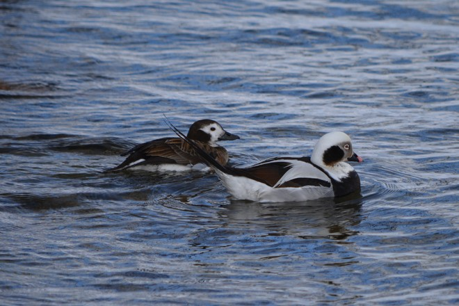 Long Tailed Duck Couple! St. Catharines, Ontario Canada