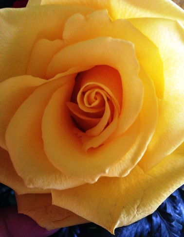 Yellow rose Vancouver, British Columbia Canada