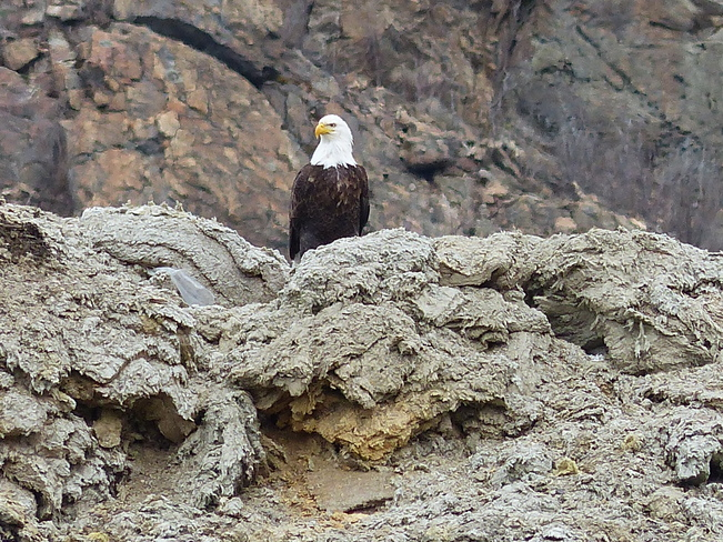 Eagle at the dunp Grand Forks, British Columbia Canada