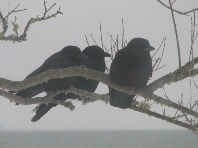 three crows out on the tree limb Maces Bay, New Brunswick Canada