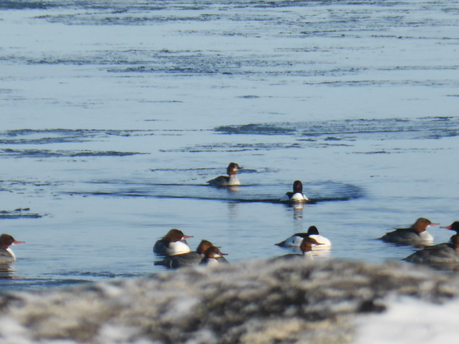 Mergansers Birchy Bay, Newfoundland and Labrador Canada