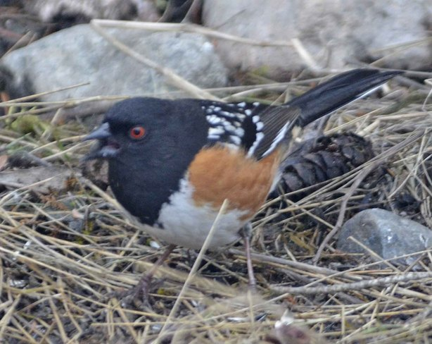 spotted towhee Greenwood, British Columbia Canada