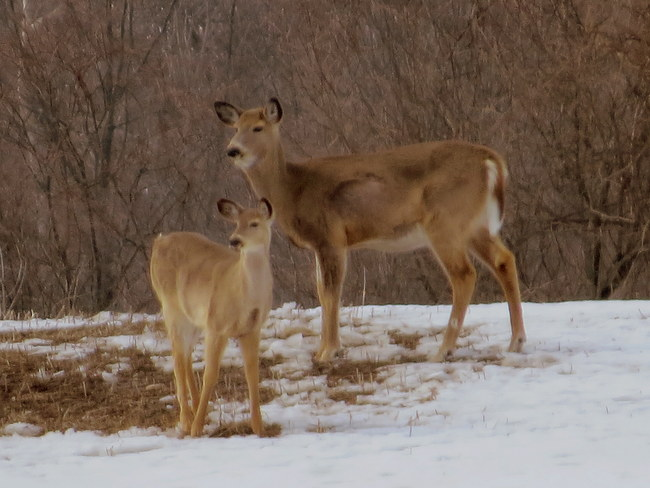 Doe and Fawn Hastings, Ontario Canada