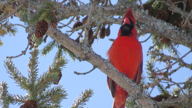 Blue Sky,Red Bird & Green Tree - Must Be Sping Espanola, Ontario Canada