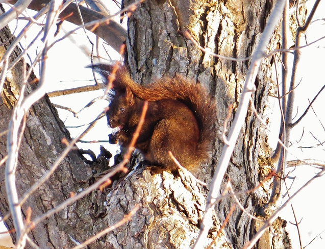 Icicle chomping Squirrel needs Spring! North Bay, Ontario Canada