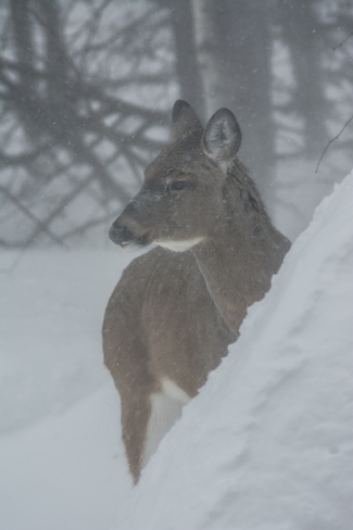 White Tail Deer in Blizzard