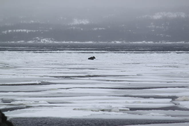 Moose trapped on the ice. Dover, Newfoundland and Labrador Canada