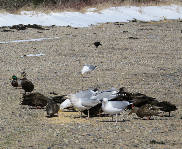 Ring-billed Gull Amid Herring Gulls Plus More Chester, Nova Scotia Canada