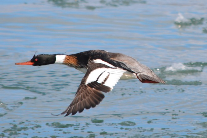 Male Red Breasted Merganser in Flight! St. Catharines, Ontario Canada